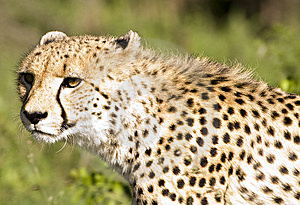 Cheetah Stalk Stock Photography - Image: 9249372