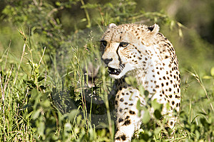 Cheetah Stalk Royalty Free Stock Image - Image: 9249536