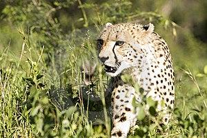 Cheetah Stalk Royalty Free Stock Image - Image: 9249536