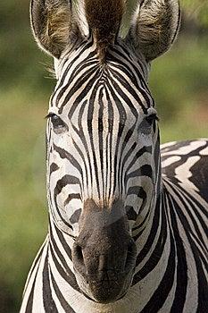 Square Zebra Stock Image - Image: 9250041