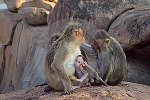 Macaque Do Rhesus Imagens de Stock - Imagem: 9252054