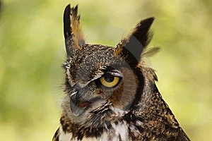 Great Horned Owl Stock Photography - Image: 9253192