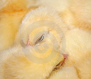 The Sleeping Chicken. Stock Images - Image: 9254494