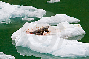 Mother Seal And Pup Royalty Free Stock Photos - Image: 9260058