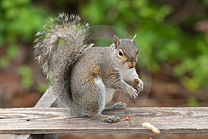 Squirrel Eating Royalty Free Stock Photo - Image: 9262105