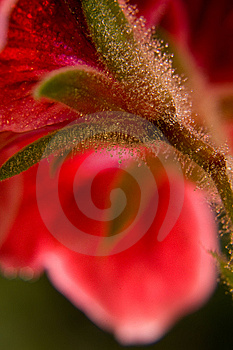 Red Flower Macro Shot Stock Images - Image: 9262314