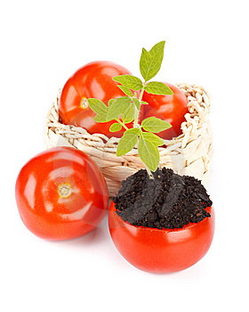 Transplant Of A Tree In A Pot From Fresh Tomato Stock Image - Image: 9265481