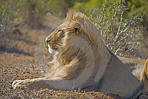 Young Lion Royalty Free Stock Photo - Image: 9267465