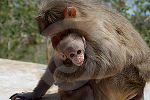 Rhesus Macaque Royalty Free Stock Images - Image: 9269049