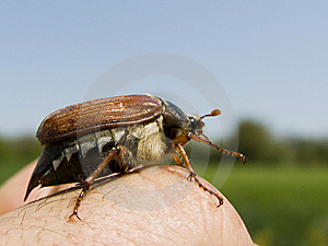 May-bug Stock Images - Image: 9269844