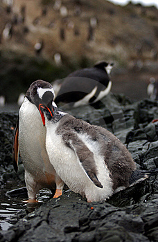 Gentoo Penguin Stock Photography - Image: 9273232