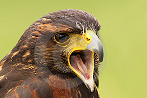 Harris Hawk Screaming Stock Images - Image: 9274274