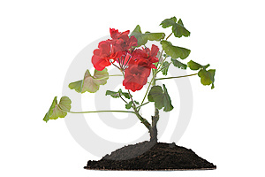 Blooming Plant In Soil Royalty Free Stock Photos - Image: 9275228