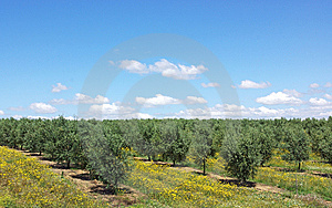 Olives Tree . Stock Photography - Image: 9278332