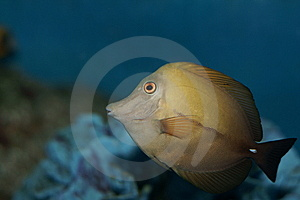 Yellow Tang (Zebrasoma Flavescens) Royalty Free Stock Photo - Image: 9279125