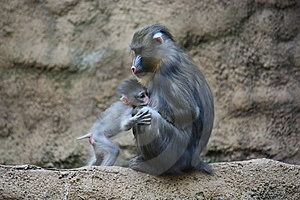 Mandrill Family Stock Photos - Image: 9280853