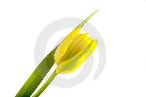 Tulip Royalty Free Stock Image - Image: 9281766