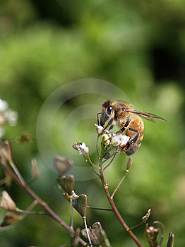 Diligent Bee Royalty Free Stock Photos - Image: 9284828