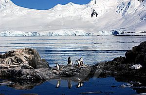 Gentoo Penguin Royalty Free Stock Photography - Image: 9287277