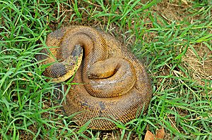 Common Rat Snake Royalty Free Stock Photography - Image: 9287297
