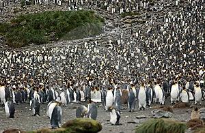 King Penguin Royalty Free Stock Image - Image: 9287346