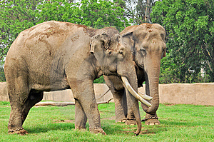 Indian Elephants Stock Photos - Image: 9287553