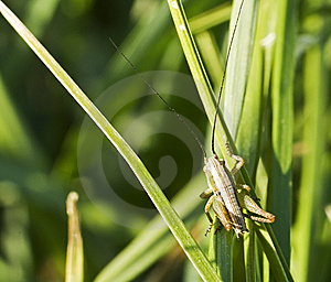 Grasshoper In Natural Environment Stock Photo - Image: 9288640