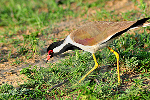 Red Wattled Lapwing Stock Photo - Image: 9288840