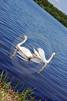 White Swan Stock Photos - Image: 9294593