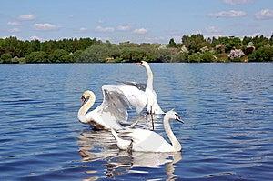 Swan Swim Stock Image - Image: 9294631