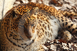 Jaguar Stock Image - Image: 9295931