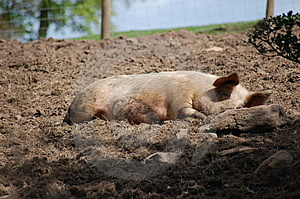 Pig Sleeping Royalty Free Stock Photos - Image: 9296468