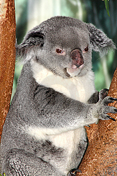 Koala Bear Royalty Free Stock Photos - Image: 9296748