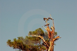 Osprey Feeding Young Stock Images - Image: 937894