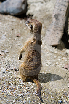 Meerkat Royalty Free Stock Photography - Image: 939777