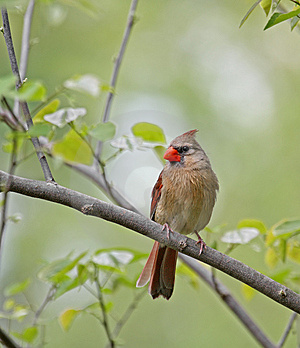 Female Cardinal Stock Image - Image: 9305991
