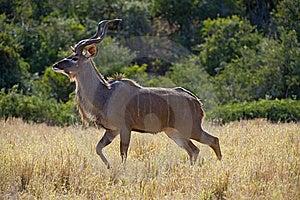 Kudu Beauty Stock Photo - Image: 9307260