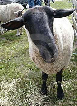 Black Faced Sheep Close Up Stock Photos - Image: 9315693