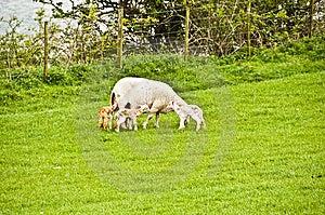 Sheep Just Given Birth To 3 Lambs Royalty Free Stock Photos - Image: 9319398