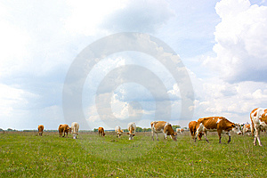 Cow Royalty Free Stock Photos - Image: 9320518