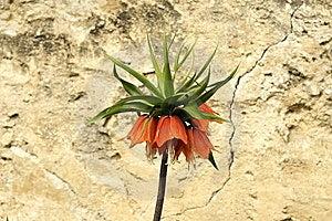 Fritillaria Imperialis Flower Stock Photography - Image: 9321892