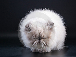 Male Persian Cat Breed Like Taraxacum Stock Photo - Image: 9324220