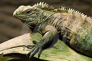 Iguana Waiting For Its Pray Stock Photos - Image: 9329083