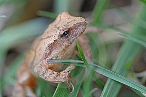 Mountain Chorus Frog Royalty Free Stock Photo - Image: 9329585