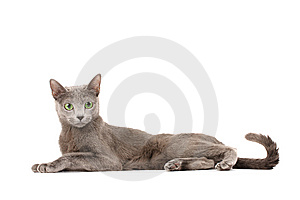 Russian Blue Cat Stock Photo - Image: 9335220