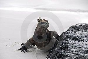 Iguana Staring Stock Images - Image: 9339424