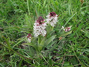Burnt Orchid Stock Photo - Image: 9344040