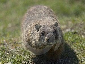 Walking Marmot Royalty Free Stock Image - Image: 9344086