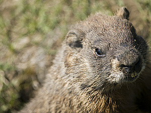 Sweet Marmot Looking Stock Images - Image: 9344114