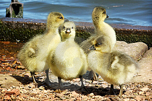A Gaggle Of Greylag Goslings Stock Photos - Image: 9346063
